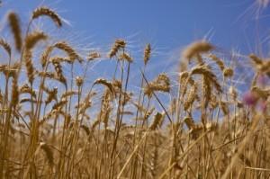 Food-talk-4-u-wheat-field
