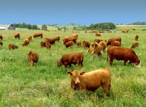 food-talk-4-u-grass-fed-cows-R