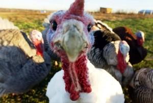 A free-range turkey